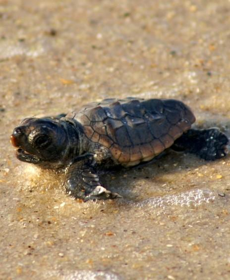 BHI Conservancy 2013 Turtle Trot Scheduled for March 30