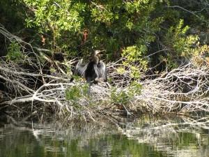 We saw this anhinga at the Conservancy pond on Stede Bonnet Wynd.