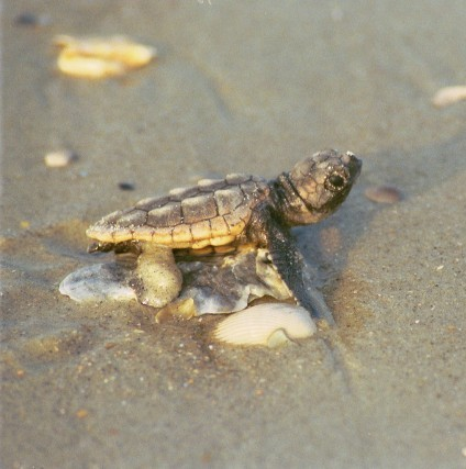 Turtle Season in Full Swing on Bald Head Island